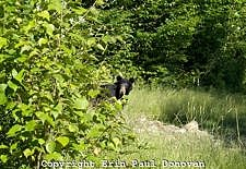 Black Bear -Ursus americanus- during the summer months in the White Mountains, New Hampshire USA
