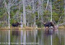 Nancy Brook Scenic Area - New Hampshire Moose