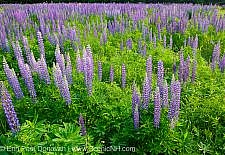 Photos of the Sugar Hill Lupine Festival in Sugar Hill, New Hampshire USA during the spring months