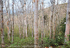 Birch forest on the side of Mount Hale along the abandoned Fire Warden's Trail in the White Mountains, New Hampshire USA