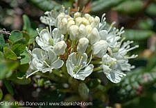 Labrador Tea-Ledum groenlandicum- during the summer months in the White Mountains, New Hampshire. This plant can be found on the rocky slopes of the alpine zone