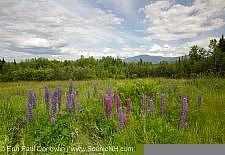 The last of the lupines - Sugar Hill