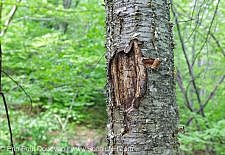 Tree Vandalism in the White Mountain National Forest of New Hampshire